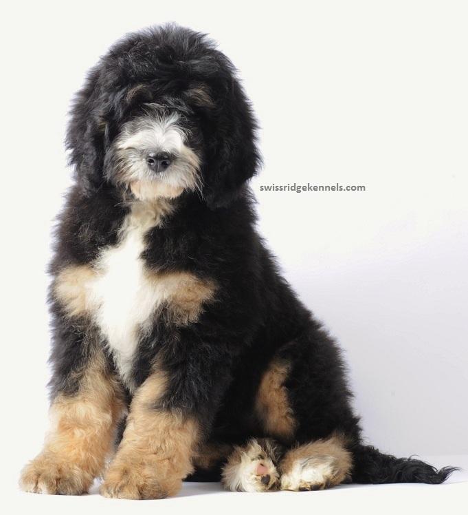 Bernese Mountain Dog Adoption Rescue
